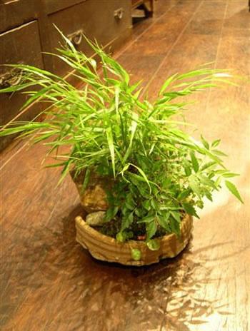 山野草盆栽1