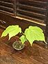 山野草盆栽10