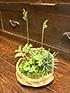 山野草盆栽11